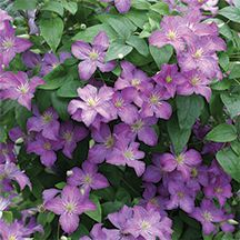 Jolly Good Clematis. (PPAF)-Enchanting two-tone color all summer. A Jackmannii hybrid, this clematis is continuously smothered in light purple blooms with magenta undertones and creamy white stamens. Grows just 6 to 7 feet tall - a perfect size for trellising. Group 3.