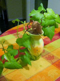 Growing a Sweet Potato Vine - tips and techniques.