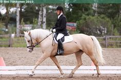 Auringon Paiste (name can be translated as Sunshine), a palomino Finnhorse mare Mane N Tail, Draft Horses, Palomino, Horse Breeds, Finland, Blue Eyes, Sunshine, Racing, Animals