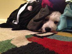 Wheaten Terrier, Zoe, and warm laundry