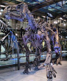 Squelette monté du dinosaure Ornithischia Ornithopoda Hadrosauriformes Iguanodontoidea Iguanodontidae Iguanodon bernissartensis, présenté en position de quadrupède. Institut royal des sciences naturelles de Belgique, Bruxelles  (IRSNB). Auteur : Ben2. 2007