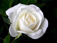 White Roses | Single White Roses |Rose Wallpapers