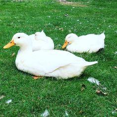 "18 gilla-markeringar, 1 kommentarer - Jessie💕 (@ijezzie) på Instagram: ""Idag myser vi bara 😊👩🏼🌾💕 #duck #ducks #cute #anka #mys #summer #farm"""