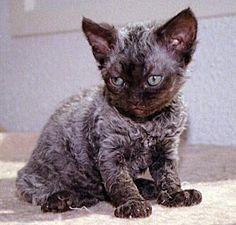 German Rex Kitten schwarz