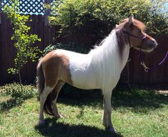Look at my handsome mini stallion. Just finished his bath when I took this picture. He just turned two July fourth.
