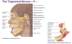 Want to know more about your peripheral nervous system? Basic structural components of the PNS, four divisions, and cranial nerves.