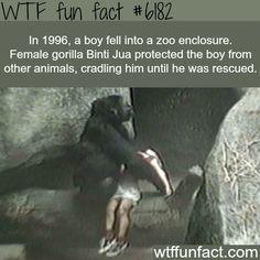 Female gorilla saves a little boy - WTF fun facts