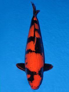 Hi Utsuri, Koi Ponds, Japanese Koi, Koi Carp, Fish, Animals, Animales, Animaux, Pisces