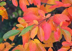 Colors of Sassafras Leaves   Red House Garden: Four Seasons of Sassafras