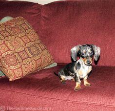 6mo-old-4lbs-mini-dashhund.jpg 499×480 pixels