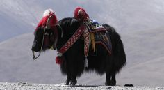The Yak is the most representative animal of Tibet. Animals Images, Animals And Pets, Musk Ox, Animal Anatomy, Mongolia, Horse Tack, Tibet, Camel, Image Search