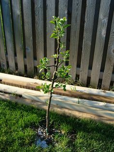 Golden Delicious apple tree - Stark Bro's via @Amanda J. Grant