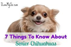 Whether you have just adopted a senior chihuahua (and bless you if you have!) or have had your little fur ball for most of their life, there are questions you may have about this stage in your chihuahua's life. Pugs, Chihuahua Dogs, Chihuahuas, Chihuahua Tattoo, Chihuahua Facts, Puppies, All Dogs, I Love Dogs, Best Dogs