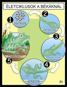 Life Cycle of a Frog Poster Preschool Science, Elementary Science, Teaching Science, Science Classroom, Life Cycle Craft, Classroom Pets, Lifecycle Of A Frog, Frog Theme, Stem For Kids