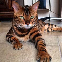 Se llama Thor y es un felino de Bengala, hídrido que resulta del cruce de un Gato doméstico y un Leopardo
