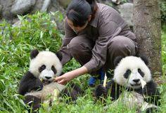 Pandas gigantes se encuentran a salvo luego del fuerte terremoto en China. Visite nuestra página y sea parte de nuestra conversación: http://www.namnewsnetwork.org/v3/spanish/index.php
