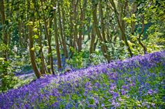 The bluebell wood x
