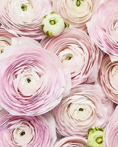 Pink ranunculus why you so pretty?💗💗💗