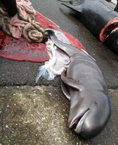 Sea Shepherd announces Operation GrindStop 2014 Sea Shepherd, Stop Animal Cruelty, Faroe Islands, Sea World, Animal Rights, Watch V, Marine Life, Dolphins, Conservation