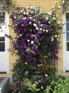 Jackmanii clematis and New Dawn rose