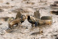 mudskippers - fish that have evolved to live out of water.  These fish are completely amphibious, and use their pectoral fins to walk around on land. They have a large gill chamber that retains water and closes tightly when they are not immersed in water.