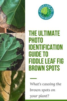 One of the most common concerns that fiddle leaf fig owners face is brown spots on the beautiful leaves of their plant. The condition can be frustrating and confusing because it takes a bit of experience to determine what is causing the brown spots on you Fig Leaf Tree, Fig Leaves, Plant Leaves, Ficus, House Plant Care, House Plants, Fiddle Leaf Fig Tree, Inside Plants, Leaf Coloring