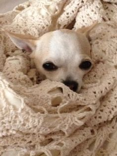Chihuahua, this one reminds me of my peanut.  I miss him