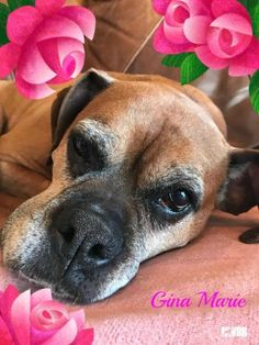 Gina Marie is an adoptable Boxer searching for a forever family near Olympia, WA. Use Petfinder to find adoptable pets in your area.