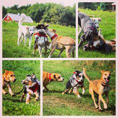 Fun & games with Hudson & friends. #evasplaypupspa #dogcamp #doggievacays #sillypooches #dogdaysofsummer #dogsofinstagram #endlessmountains #mountpleasant