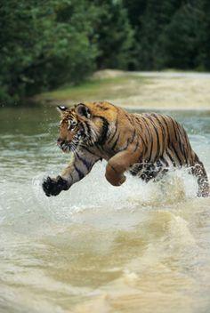 Royal Bengal Tiger ( Penthera tigris )Sundarbans - UNESCO World Heritage Sites, Bangladesh. Bengalischer Tiger, Bengal Tiger, Siberian Tiger, Tiger Cubs, Bear Cubs, Beautiful Cats, Animals Beautiful, Big Cats, Cats And Kittens