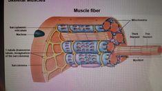muscle fibers model - Google Search
