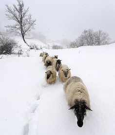 Beautiful sheep are pictured walking during a heavy snowfall in the Northern Spanish Basque village of Oquendo.