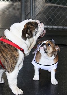 English Bulldogs ~I want to be just like you when I grow up