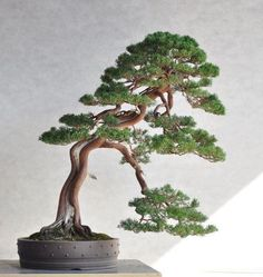 ✿ڿڰۣ(̆̃̃❤Aussiegirl #Bonsai