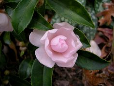 Winter's Rose, a dwarf camellia with pale pink double flowers -- Camellias That Can Take the Chill - NYTimes.com