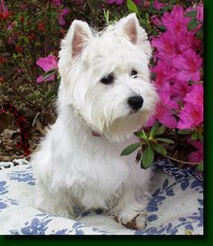 westies make me smile!   :-) This looks just like Cotton on a clean day!!
