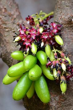 Averrhoa Bilimbi. In some villages in the Thiruvananthapuram district of India, the fruit of the bilimbi was used in folk medicine to control obesity. This led to further studies on its antihyperlipidemic properties.