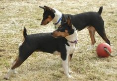 Decker Rat Terriers