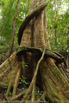 AUSTRALIA, Queensland, Far North, Daintree River National Park. Buttressed roots of rainforest tree above Mossman Gorge, Wet Tropics World Heritage Area