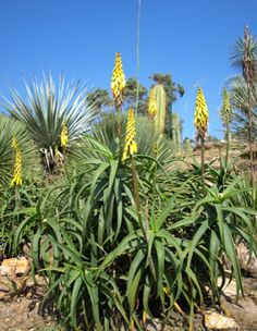 Aloe Striatula. Frost hardy perennial evergreen succulent with yellow flowers. It grows well in direct sun, and prefers low levels of water. It has high drought tolerance.