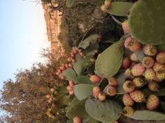 Prickly pears Malta