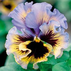 Pansy Frizzle Sizzle Yellow Blue Swirl (5 plants)