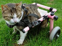 Brigitta lost the use of her hind legs after some cruel person shot her with an air rifle. However, this kitty would not give up and her pet parents were seeking a way to help their furbaby live life to the fullest. What they found was this pink kitty wheelchair that enables Brigitta to explore her home.