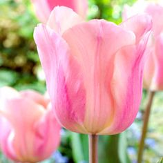 Apricot Beauty Tulip- Lightly scented with a sturdy stem. Will look Beautiful in any Garden.