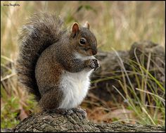 AUDUBON GRAY SQUIRREL
