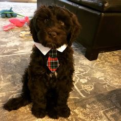 Another chocolate bundle of joy from DownUnder Labradoodles USA www. Labradoodles, Joy, Chocolate, Cute, Animals, Animales, Animaux, Glee, Kawaii