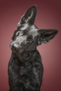 Head tilt - A beautiful black German shepherd.  All my pictures here can be licensed. Just send me a message to info@elkevogelsang.com