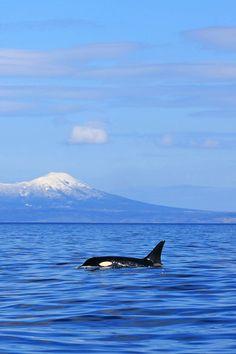 archangvl:  Orca in the Wild|Akiko F