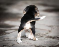Rescued beagle baby (Beagle Freedom Project)