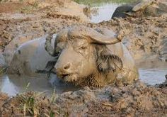 Animals use mud for all sorts of reason's. Some play in it, some eat it, and other animals covered in mud use it to cool down on a hot summers day! Pig In Mud, African Buffalo, Penguin Cakes, Mud Bath, Elephant Cakes, Capybara, Silly Dogs, Dog Cakes, Guinea Pigs